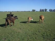 Cows in Argentina